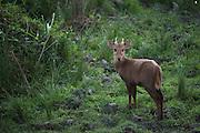 Indian Hog Deer (Hyelaphus porcinus)<br /> Kaziranga National Park<br /> Assam<br /> North East India<br /> UNESCO World Heritage Site<br /> ENDANGERED
