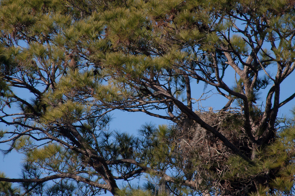 Bald eagles manage two four-week-old eaglets in their nest in a tall pine along the May River.