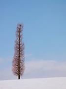 A bare tree in the snow in Niseko, Hokkaid?, Japan