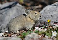 Rocky Mountain Pika - Ochotona princeps
