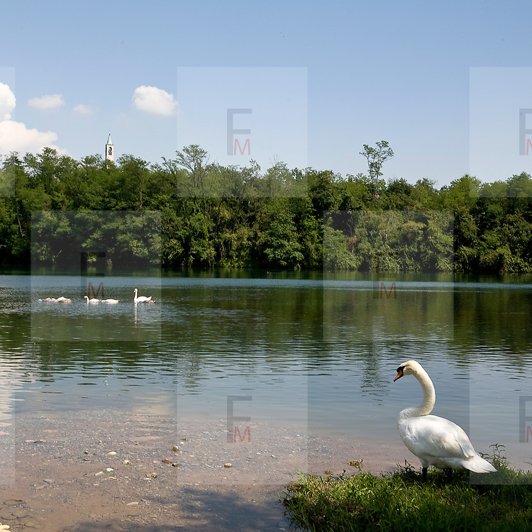 Un cigno sulle rive dell'Adda...A white swan on the Adda river bank.