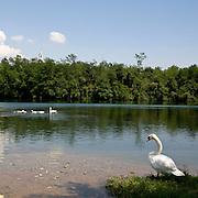 Un cigno sulle rive dell'Adda...A white swan on the Adda river bank.