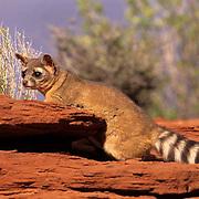 Ringtail, (Bassariscus astutus) Adult in canyonlands of southern Utah. Captive Animal.