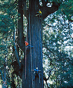 Candelabra Tree is several miles up Big River in California on property that is being taken over from a lumber company by several nature conservancies.