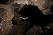 A long-eared bat (mytis evotis) exits Pond Cave in Craters of the Moon National Monument, Idaho.