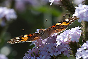 Painted Lady, Cynthia cardui, Feeding on flowers, Butterfly pollination psychophily, migrates to UK from Africa