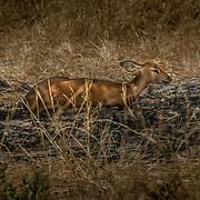 20211003 Maun Botswana <br /> Moremi nationalpark Okavangodeltat<br /> Steenbock<br /> <br /> <br /> ----<br /> FOTO : JOACHIM NYWALL KOD 0708840825_1<br /> COPYRIGHT JOACHIM NYWALL<br /> <br /> ***BETALBILD***<br /> Redovisas till <br /> NYWALL MEDIA AB<br /> Strandgatan 30<br /> 461 31 Trollhättan<br /> Prislista enl BLF , om inget annat avtalas.