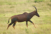 roan antelope (Hippotragus equinus) Photographed at the Queen Elizabeth National Park, Ishasha Sector, Uganda