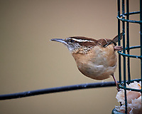 Carolina Wren about to leave a bird feeder. Image taken with a Nikon D5 camera and 600 mm f/4 VR lens (ISO 450, 600 mm, f/4, 1/640 sec).
