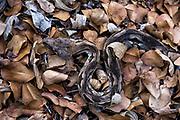 Dumeril's ground boa (Acrantophis dumerili)<br /> Kirindy<br /> Southwestern Madagascar<br /> MADAGASCAR