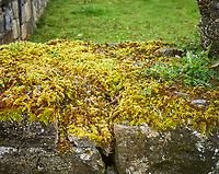 Moss covered stone wall in Ballyvaughan. Image taken with a Leica X2 camera.