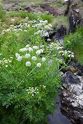 Hemlock Water Dropwort. Oenanthe crocata