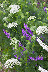 Ammi visnaga with Larkspur Mauve