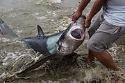 Thresher Shark On Beach<br /> Puerto Lopez<br /> Manabi Province<br /> Ecuador<br /> South America