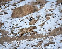 A snow leopard, Panthera uncia, walking along snowy ground with magpie in background.