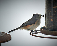 Tufted-Titmouse. Image taken with a Nikon D5 camera and 600 mm f/4 VR lens (ISO 180, 600 mm, f/4, 1/640 sec).