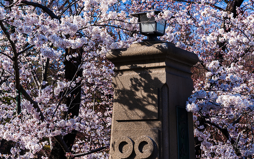 An old lamp post in Nagano surrounded by Sukura in Full Blossom.