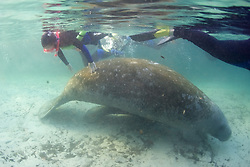 Person Touching Manatee At Three Sisters Spring