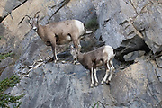 Bighorn Sheep ewe (female) seeks saftey with her lamb on a rocky cliff.(Ovis canadensis).Jasper National Park, Canada..