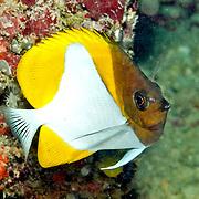 Pyramid Butterflyfish inhabit reefs. Picture taken Fiji.