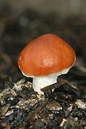 Redlead Roundhead - Leratiomyces ceres (Stropharia aurantiaca)