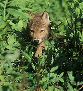 Timber or Grey Wolf, Canis Lupus,  Minnesota USA, controlled situation, young cub in undergrowth,