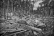 Brazil, Amazonas, Eldorado do Juma.<br /> <br /> Grota rica, garimpeiros.<br /> Eldorado do Juma est maintenant un bidonville de plastique noir et de misere croissante sur la rive du fleuve, qui attire les prospecteurs. Des centaines d'hommes y creusent la boue sur leurs petites parcelles delimitees par des branchages et des ficelles. A la fin du jour, les plus chanceux auront trouve quelques poussieres d'or, vendues ensuite 40 reals le gramme (14,5 euros) a Apui, 65km au nord. Les plus riches du coin sont ceux et celles qui cuisinent, nettoient ou divertissent les mineurs.<br /> Il y a trop de prospecteurs pour la teneur du filon, du coup les garimpeiros s'eparpillent sur une surface qui couvre plus de 40 hectares. Tous les mineurs dependent de l'autorisation d'une cooperative de proprietaires pour travailler. Ces proprietaires ne possedent pourtant pas de titre foncier pour justifier leur etat, ils sont simplement arriver les premiers sur les parcelles : c'est la loi de l'or.<br /> Quatre mois apres le debut de cette ruee, la plupart du minerai qui peut etre extrait manuellement a ete trouve, les mineurs qui restent sont les survivants de la rumeur. Ils n'ont souvent plus rien et esperent seulement trouver de quoi payer le voyage pour aller tenter leur chance vers d'autres terres promises.