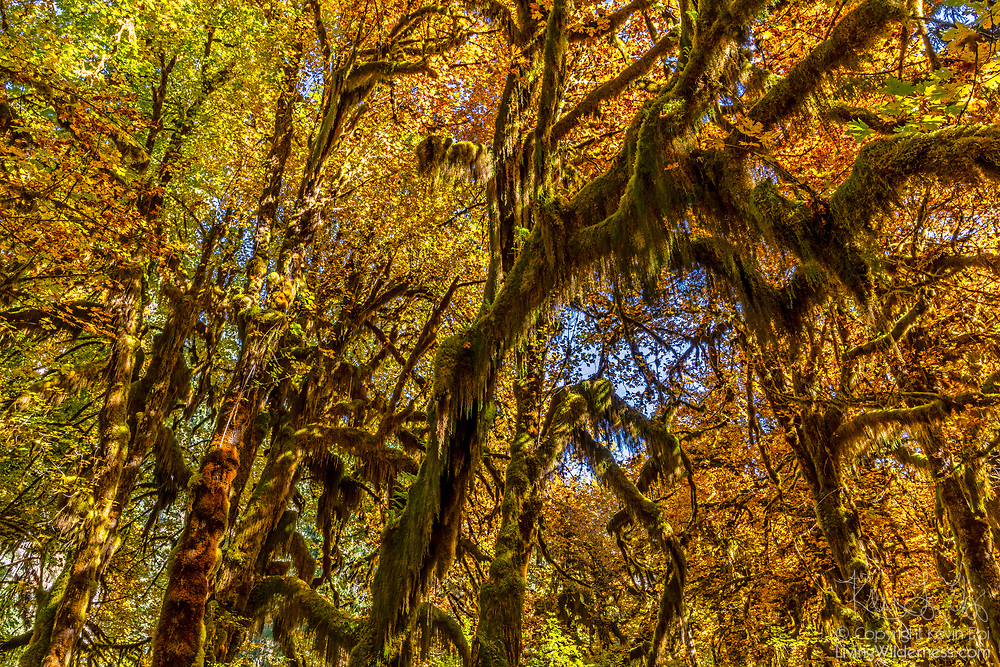 Moss drapes from the thick brances of old-growth bigleaf maple trees (Acer macrophyllum) that are beginning to show their fall colors in the Hall of Mosses, part of the Hoh Rain Forest in Olympic National Park, Washington. The Hoh Rain Forest is a temperate forest, receiving between 140 and 170 inches (355 to 432 centimeters) of rain per year. The lush forest has been named by UNESCO as both a World Heritage Site and a Biosphere Reserve.