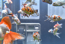 """© Licensed to London News Pictures. 18/01/2018. LONDON, UK. """"Aquarium"""" by Benedetto Bufalino & Benoit Deseille.  A BT phone box has been converted into an aquarium with live goldfish in Earlham Street, Seven Dials.  Opening night of Lumiere London, the capital's largest arts festival commissioned by The Mayor of London and produced by Artichoke.  Light installations by leading artists have been set up, both north and south of the river for the public to view 18-21 January. Photo credit: Stephen Chung/LNP"""