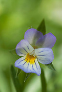 Purple and yellow Viola, Violaceae, Pansy Flower, Garden, UK