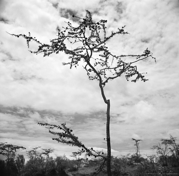 Thorn Tree with Nests of Weaver Birds, Great Rift Valley, Kenya, Africa, 1937
