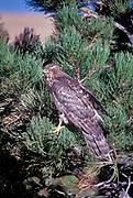 Northern Goshawk, Accipter gentilis, Boulder, Colorado, USA
