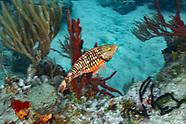 Parrotfish-Poisson-perroquet (Cetoscarus bicolor)