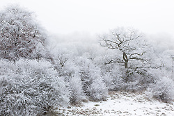 Oak tree in wintry Gloucestershire countryside with hoar frost and snow. Quercus robur
