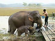 A mahout washes Mae Khram Di, a female Asian elephant and her baby Noy An in the lake at the Elephant Conservation Center (ECC) in Sayaboury province, Lao PDR. The ECC launched in association with the NGO ElefantAsia offers an innovative experience to visitors that combines conservation of the endangered Asian elephant with eco-tourism. Laos was once known as the land of a million elephants but now there are fewer than 900 living in the country. Around 470 of them are in captivity, traditionally employed by a lucrative logging industry. But captive elephants are often overworked and exhausted and as a consequence no longer breed. With only two elephants born for every ten that die, the Asian elephant, the sacred national emblem of Laos, is under serious threat of extinction. At the Elephant Conservation Center in Sayaboury province, the elephant nursery is an innovative reproduction project led by Lao mahouts and the Center.