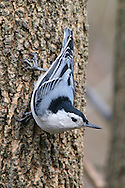 A Small Bird, White Breasted Nuthatch In A Typical Upside Down Pose, Sitta carolinensis,