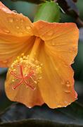 Orange Hibisicus