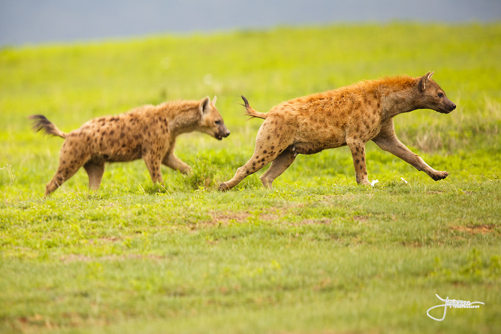 The call for food was heard and spotted hyenas from all over the crater are approaching