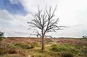 Nederland, Mook, 23-8-2019 Natuurgebied De Mookerheide. Mensen wandelen door het gebied . Nu het even geregend heeft staat de hei mooi in bloei. Een al jaren dode boom staat nog steeds overeind.. Toch zijn er door de droogte van dit en vorig jaar veel heistruiken dood gegaan, verdord. Door het hoge stikstofgehalte zijn grote plekken ontstaan waar gras de overhand heeft gekregen . Dit vergrassen bedreigt de hei .Ook bekend om de historische Slag op de Mookerheide op 14 april 1574. De Mookerhei is een natuurgebied ten oosten van Mook in de provincie Limburg. Zij ligt op een uitloper van de Nijmeegse stuwwal. In het zuidelijke deel groeit struikheide die normaal in augustus prachtig bloeit. Dit gebied is onderdeel van de wandelroute, pelgrimsroute, walk of wisdom door het rijk van Nijmegen. Foto: ANP/ Hollandse Hoogte/ Flip Franssen