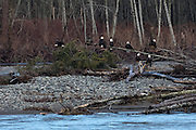 Seven bald eagles (Haliaeetus leucocephalus) perch together on some wood debris along the Nooksack River near Deming, Washington, as another bald eagle flies by.