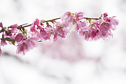 Cherry blossoms collect raindrops on trees along Lake Washington Boulevard near Seward Park Sunday March 26, 2017. Showers are predicted to continue with sun coming later in the week.
