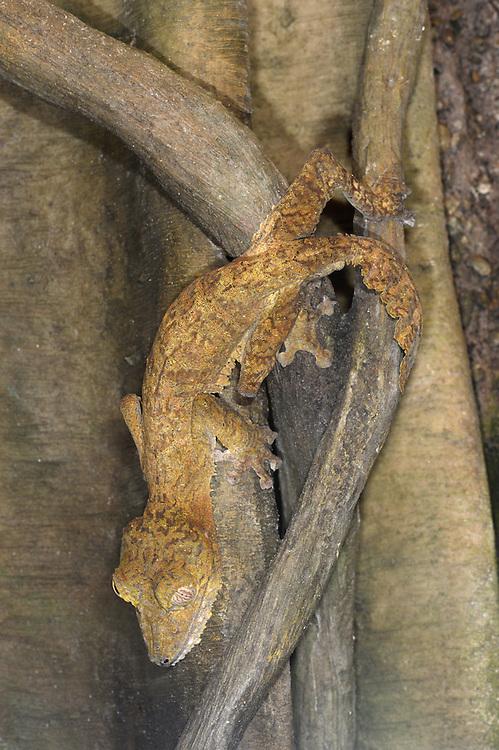 Giant Leaf-tailed Gecko - Uroplatus fimbriatus - Madagascar