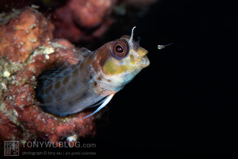 This is the moment when a male spotty goby (Laiphognathus multimaculatus) sent one of his babies into the world. Females of this species deposit eggs into the burrows of males, which fertilize and care for the developing young. When juveniles are mature, the males take the young fish into their mouths, dart out of their burrows and spit the babies into the water, sometimes one at a time, sometimes several at once. The action is rapid, the direction and timing of launching babies unpredictable. Such behavior is perhaps necessary to minimize predation. This male was about 4cm in length.