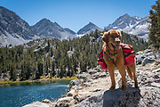 Dog (golden retriever) with backpacks standing above Box Lake in the Little Lakes Valley, John Muir Wilderness, Inyo National Forest, California