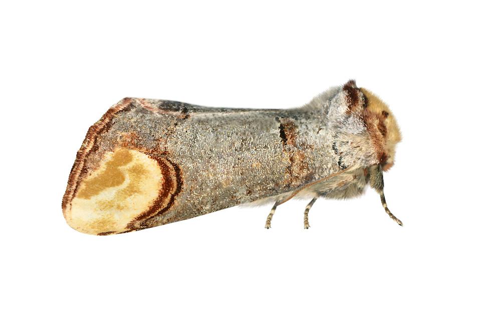 71.025 (1994)<br /> Buff-tip - Phalera bucephala