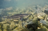 White Sturgeon (juvenile)<br /> <br /> Todd Pearsons/Engbretson Underwater Photography
