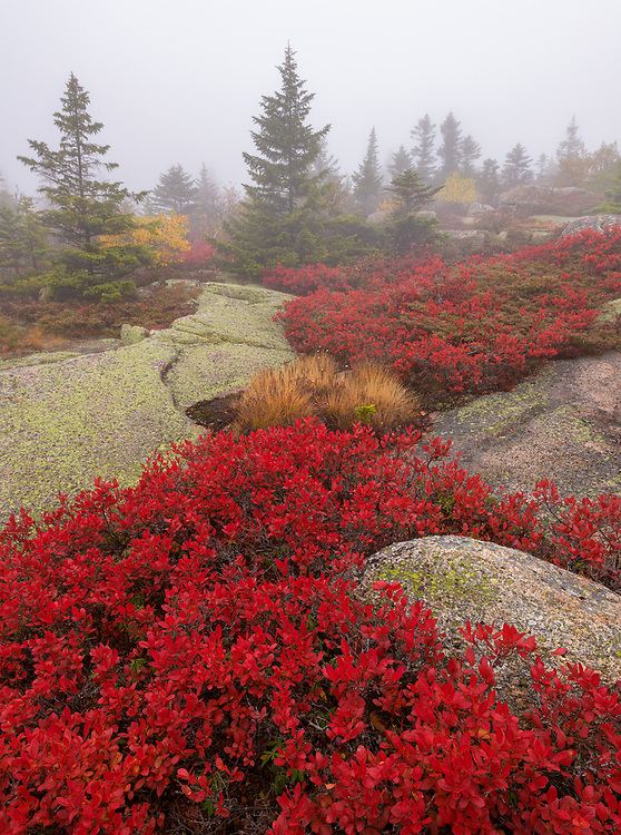 Vibrant red blueberry bushes on the summit of Cadillac Mountain in Acadia National Park, Maine during autumn.