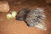 Yong Indian Crested Porcupine (Hystrix indica), or Indian Porcupine is quite an adaptable rodent, found throughout southern Asia and the Middle East. It is tolerant of several different habitats: mountains, tropical and subtropical grasslands, scrublands, and forests.Photographed in Israel In November