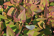 Closeup of flourishing eucalyptus leafs