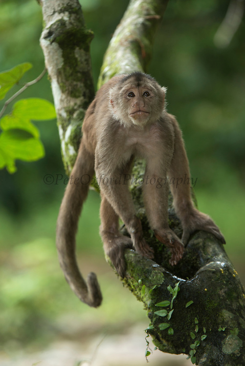 White-fronted Capuchin Monkey (Cebus albifrons) <br /> Drinking from water collected in a hollow tree.<br /> Puerto Misahualli, Amazon Rainforest, Napo Province<br /> ECUADOR. South America
